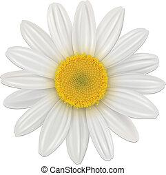 margarita, flor