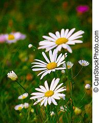 margarita, y, salvaje, verano, flores