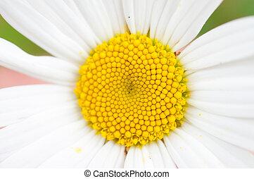 margherita fiore