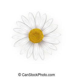 margherita, fiore