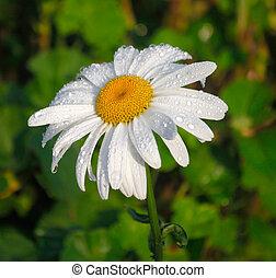 margherita, rugiada, fiore, mattina