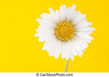 margherita, su, uno, luminoso, sfondo giallo