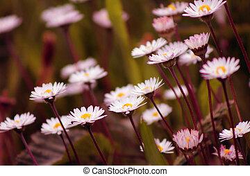 margherite, primavera