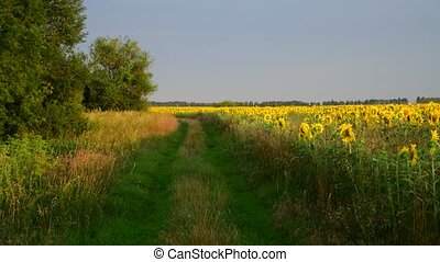 Margins of sunflower Fields In rays of setting sun - Margins...