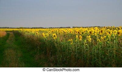 Margins of sunflower Fields In rays of setting sun - Margins...