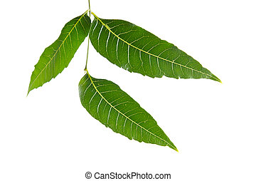 Margosa, nim or neem tree, genus Melia leaf isolated on...