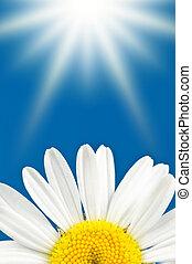 Marguerite petals and sunny blue sky