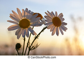 Marguerite daisies on meadow at sunset.