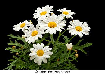 marguerite daisy isolated on black