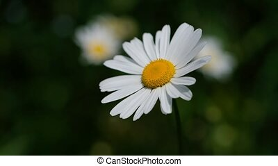 Marguerite with soft bokeh in a macro shot