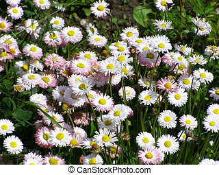 marguerites blooms in the park