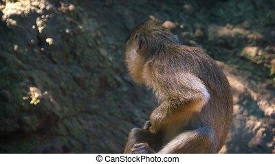 mariés, sauvage, île maurice, lui-même, macaque