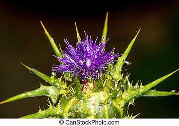 Marian thistle with flower