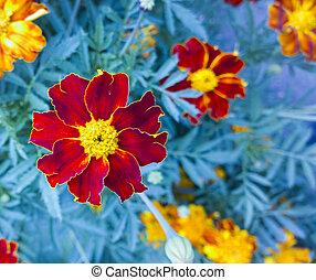Marigold. Beautiful flower in garden. Floral background