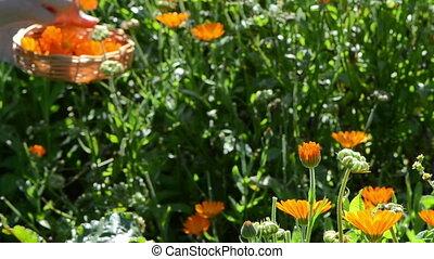 marigold calendula bloom
