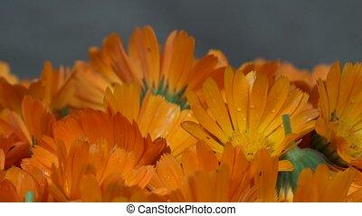 marigold calendula herb flower blooms. clockwise turntable.
