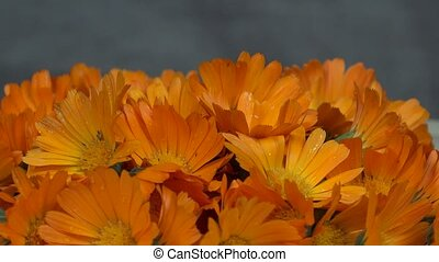 marigold calendula officinalis herb flower blooms. anticlockwise turntable.