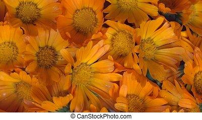 marigold calendula officinalis herb flower blooms. anticlockwise turntable.