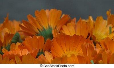 marigold calendula officinalis herb flower blooms. counterclockwise turntable.