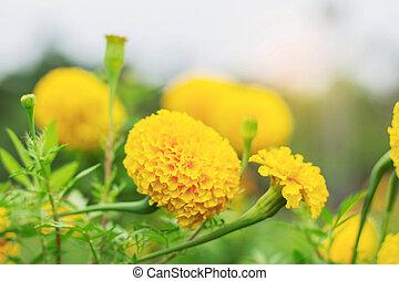 marigold, de, nature.