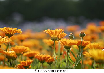 Marigold field 1 - Field of Marigolds, Moscow
