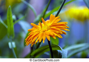 Marigold flower and leaves in ambient light. Background