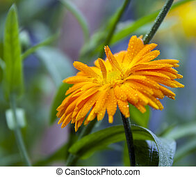 Marigold flower and leaves with drops of water in ambient light.