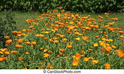 marigold flower in garden and wicker plate with blossom.