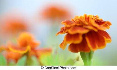 Marigold flower in garden