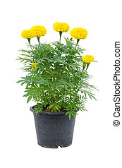 marigold flower in pot isolated on white background