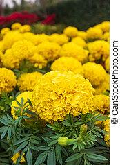 Marigold flower in the yellow garden