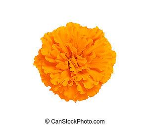 Marigold flower isolated on white