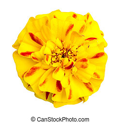 marigold flower isolated on white with clipping path