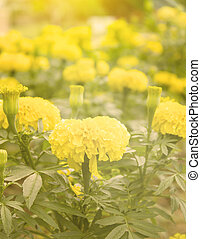 Marigold flower ,Marigold flower in the morning