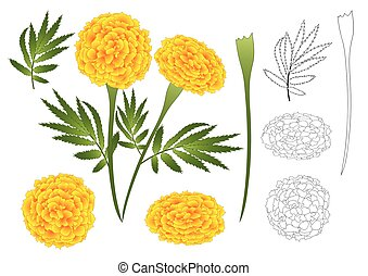 Marigold Flower Outline - Tagetes. Vector Illustration....