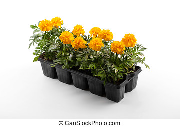 marigold flower seedlings isolated on white background