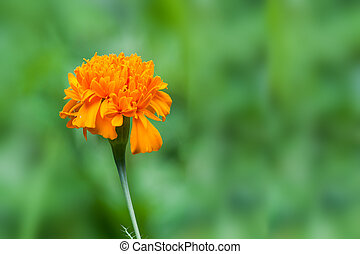 Marigold flower with soft sun light in nature.