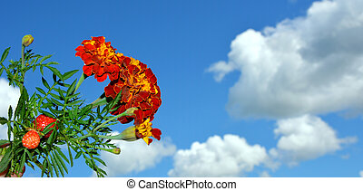 Marigold. Flowers against a blue sky and white clouds.