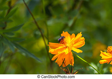 Marigold  flowers and bee