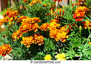 Marigold. Flowers and flowering shrubs in the garden design. Beautiful summer landscape on a summer day