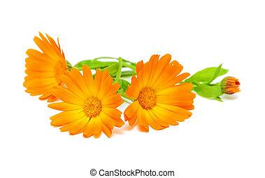 marigold flowers close up - Calendula flower on a white...
