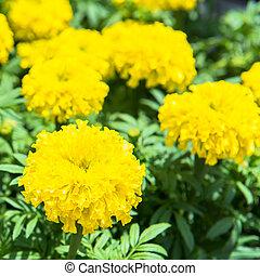 marigold flowers in the garden