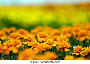 Marigold Flowers Macro