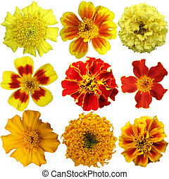 Marigold flowers set on a white background