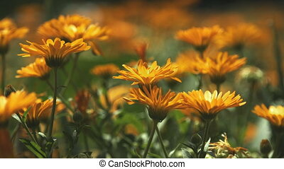 Marigold flowers swaying in the wind