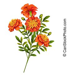 Marigold flowers isolated on white background. Vector illustration