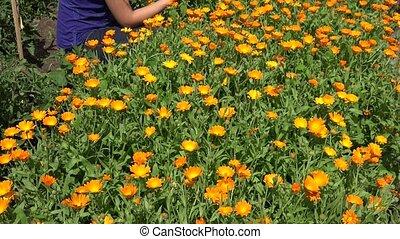 Marigold herb blooms and herbalist woman pick herbal plants...