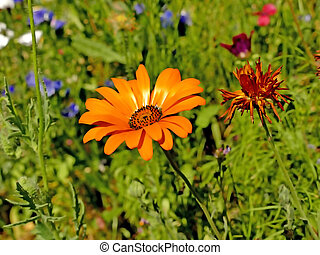 marigold in a meadow with a lot of colorful flowers