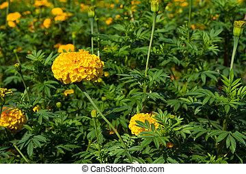 Marigold in the farm