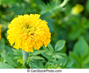 Marigold in the flower farm